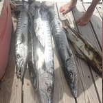 a few of the barracuda we caught