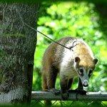 Integrante de la familia de mapaches, que visitan el hotel mañana a mañana!!
