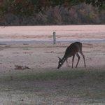 Deer are often seen in the evening just before dark