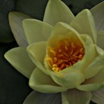 Waterlily from B & B