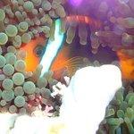 Hide and seek - Anemone fish