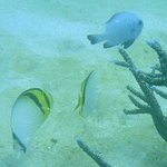 Butterfly fish and friends