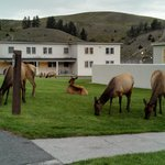 Elk grazing on the hotel grounds.