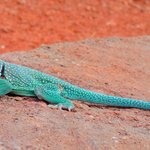 Collared Lizard (Givens, Spicer, Lowry Trail)