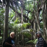 Ron's ramble - one of many huge fig trees (Ron on left)