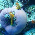 Maldives anemone fish (April 2013)