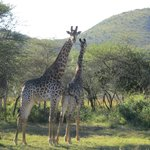 Giraffen - ganz nah