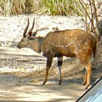 Bushbuck, picture actually taken from our lodge