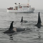 Orca Whales from one of our local boat tours