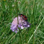 Grindelwald has wonderful butterflies, moths and flowers