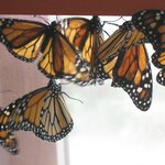 Tons on butterflies, flying freely around you in a room.  Pretty amazing.