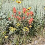 Wyoming's State Flower: The Indian Paintbrush
