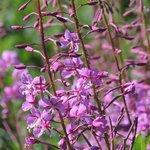 """Purple """"Fireweed"""""""