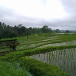 Rice Padi Fields