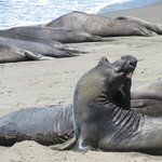 Elephant Seal rookery about 11 miles north