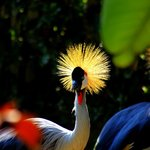 Resident crested cranes