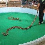 Phuket Cobra Show