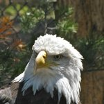 One of the great eagles