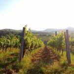 Le Trapolline vines