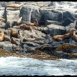 Stellar sea lion colony.