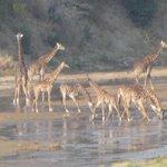 Giraffe at the river...