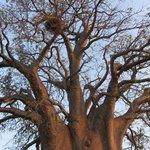 Beautiful Baobab trees.
