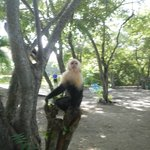 One of the numerous Capuchins on the beach.
