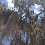 Cypress Moss...Sanibel FL