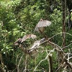 vultures drying wings