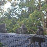 rooftop monkeys