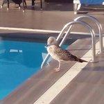 gaviota en piscina del hotel Centro Mar