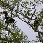 Rhinoceros Hornbills