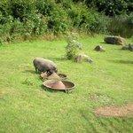 Pigs at Gypsy Wood Park.