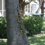 An iguana hanging out in a tree outside our room