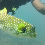 Our pet puffer. Followed us around the whole dive.