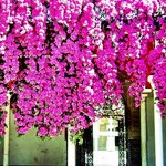 Bougainvillea lined streets