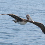 Brown pelican on the water