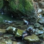 Seal pups, Ohau Waterfall, Kaikoura