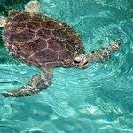 Die Meeresschildkröten der Hoopers Bay