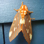 One of many spectacular moths on side of cabin