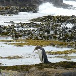 This sums up Curio Bay to me,yellow-eyed penguin,giant sea kelp and crashing waves in the backgr
