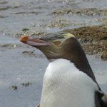 The beautiful features of the yellow-eyed penguin.