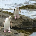 A couple of yellow-eyed penguins.