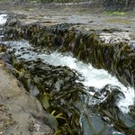 The gully which waves race up and disturb the giant sea kelp.