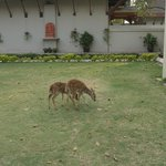 Deer in the grounds of the hotel!!