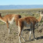 On site guanacos