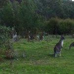 Wild kangeroos