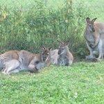visite des myocastors et kangourou