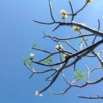 Poolside frangipani