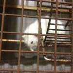 ill rats